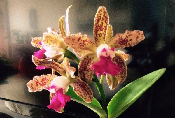 Casa José de Alencar recebe festival de orquídeas dias 22, 23 e 24 de fevereiro