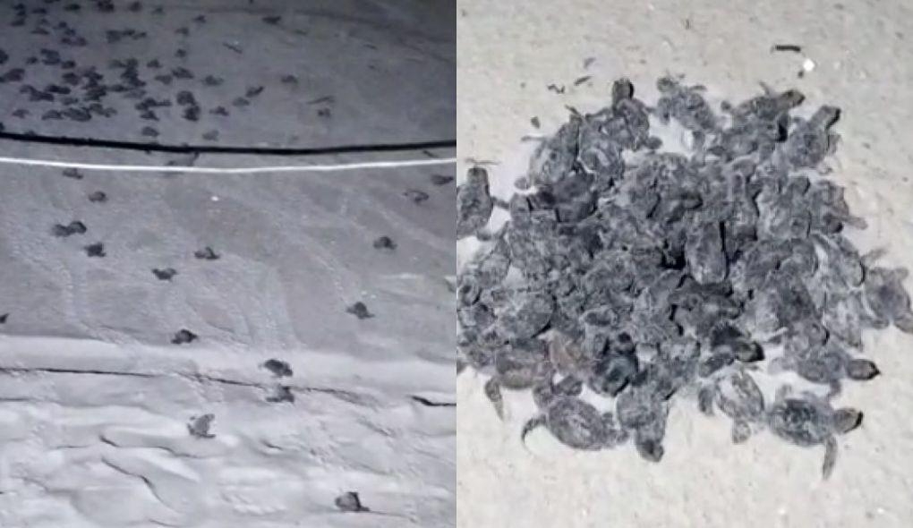 Tartarugas-de-pente nascem em praia do litoral cearense; assista vídeo